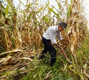 Granjero que corta el maíz con el gancho de cosecha Imagenes de archivo