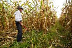 Granjero que corta el maíz con el gancho de cosecha Fotos de archivo