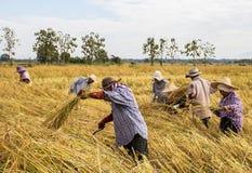 Granjero que cosecha del campo del arroz Imagenes de archivo