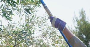 Granjero que cosecha la aceituna con el estante 4k almacen de metraje de vídeo