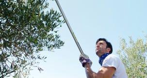 Granjero que cosecha la aceituna con el estante 4k almacen de video