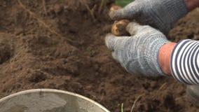 Granjero que cosecha las patatas en cubo en el campo en la granja orgánica Concepto que cultiva, forma de vida rural, consumición almacen de video