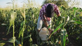 Granjero que cosecha maíz en el campo almacen de metraje de vídeo