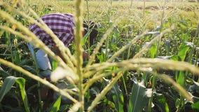 Granjero que cosecha maíz en el campo almacen de video