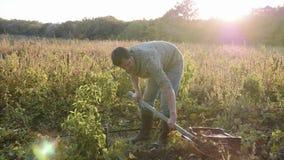 Granjero que desentierra con un showel y que cosecha las patatas dulces en el campo metrajes