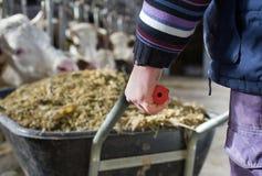 Granjero que empuja la carretilla con el ensilaje para las vacas fotos de archivo
