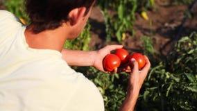 Granjero que escoge el tomate maduro en huerto almacen de video