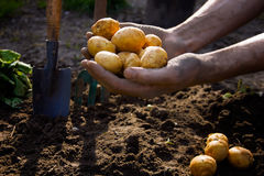 Granjero que escoge las patatas orgánicas frescas del suelo Fotografía de archivo