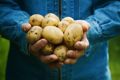 Granjero que lleva a cabo en manos la cosecha de patatas en el jardín Vehículos orgánicos farming foto de archivo