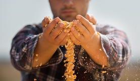Granjero que mira granos del maíz en tractor remolque Fotografía de archivo
