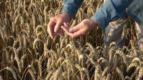 Granjero que mira la condición del grano de los oídos del trigo almacen de video