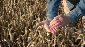 Granjero que mira la condición madura del trigo en campo en extremo del verano metrajes