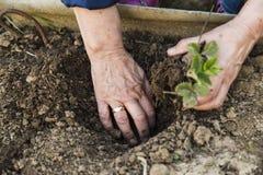 Granjero que planta la fresa joven Imagenes de archivo