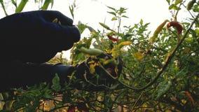 Granjero que recoge pelotillas del chile en las ramas con sol en la mañana