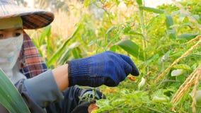 Granjero que recoge pelotillas del chile en las ramas