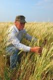 Granjero que revisa el trigo de trigo duro Imagen de archivo libre de regalías