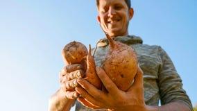 Granjero que sostiene la cosecha fresca de la patata dulce en manos y que la examina, primer fotografía de archivo