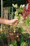 Granjero que sostiene la planta descubierta del cacahuete Fotografía de archivo