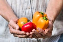 Granjero que sostiene las pimientas frescas Cosecha de las verduras Fotos de archivo libres de regalías