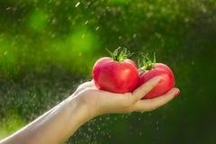 Granjero que sostiene los tomates frescos Sostener los tomates en las manos debajo de las gotas de agua Foto de archivo libre de regalías