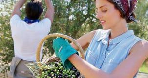 Granjero que sostiene una cesta de aceitunas en la granja 4k almacen de video