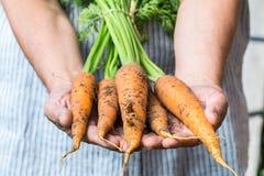 Granjero que sostiene zanahorias frescas Cosecha de las verduras Fotos de archivo libres de regalías