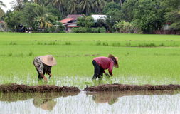 Granjero que trabaja en campo de arroz. Fotos de archivo libres de regalías