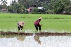 Granjero que trabaja en campo de arroz. Fotografía de archivo