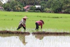Granjero que trabaja en campo de arroz. Imagenes de archivo