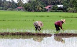 Granjero que trabaja en campo de arroz. Fotos de archivo