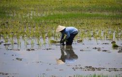 Granjero que trabaja en el arroz del campo de arroz Fotografía de archivo