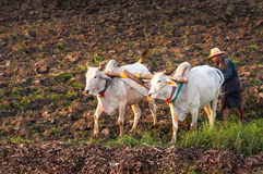 Granjero que trabaja en el campo con el búfalo de agua Fotografía de archivo