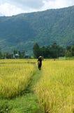 Granjero que trabaja en el campo del arroz de la cosecha Imagen de archivo libre de regalías