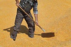 Granjero que trabaja en el hap del maíz después de cosecha imagen de archivo
