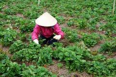 Granjero que trabaja en granja de la fresa Fotografía de archivo libre de regalías