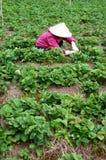 Granjero que trabaja en granja de la fresa Imagenes de archivo