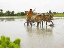Granjero que trabaja en su campo de arroz Imágenes de archivo libres de regalías