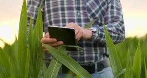 Granjero que usa la tableta digital en el campo de maíz, uso moderno de la tecnología en actividad cada vez mayor agrícola almacen de video