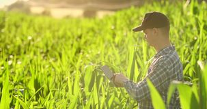 Granjero que usa la tableta digital, plantación cultivada del maíz en fondo Uso moderno de la tecnología adentro metrajes