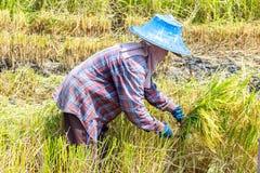 Granjero que usa una guadaña o una hoz que corta el arroz maduro Fotografía de archivo