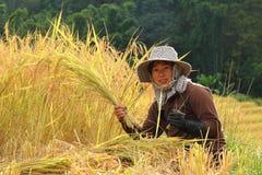 Granjero tailandés de la mujer en el campo del arroz de arroz Imágenes de archivo libres de regalías