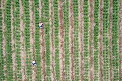 Granjero tailandés que trabaja en el campo verde de la planta de los chiles Foto de archivo