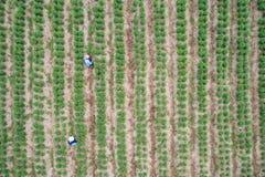 Granjero tailandés que trabaja en el campo verde de la planta de los chiles, visión aérea Fotos de archivo