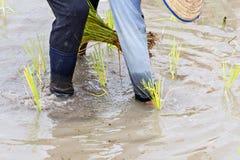 Granjero tailandés que planta el arroz en campos del arroz Imagen de archivo libre de regalías