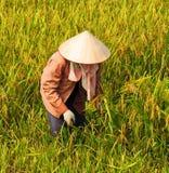 Granjero vietnamita que cosecha el arroz en campo Imagenes de archivo
