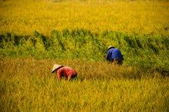 Granjero vietnamita que cosecha el arroz en campo Imagen de archivo libre de regalías