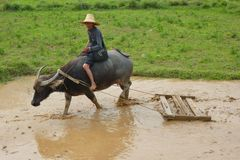 Granjero y búfalo en el arroz que plantan, China Foto de archivo