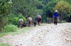 Granjero y buffallos Foto de archivo libre de regalías