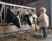 Granjero y vacas jovenes Foto de archivo libre de regalías