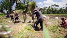 Granjeros asiáticos que cosechan el arroz almacen de metraje de vídeo